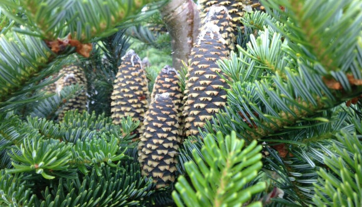 Christmas trees close-up